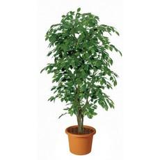 Ficus Benjamin Almora Artificiale H9301 017999792496